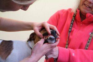 En hund får sina tänder undersökta