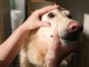 Hund får sina ögon undersökta
